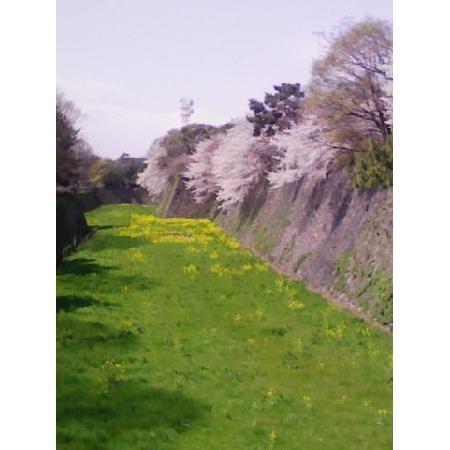 桜満開 名古屋城内堀